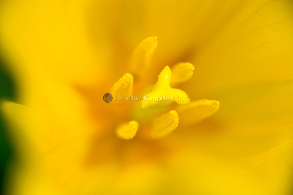 Close up of the stamen on a yellow tulip.