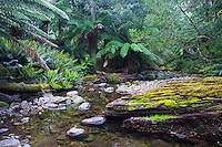 Stream flowing through a lush temperate rainforest, Tasmania, Australia