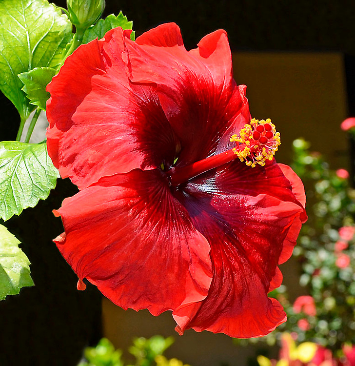 Hibiscus is a collection of Al Harty's beautiful Hibiscus flowers that grow on Maui, Hawaii.