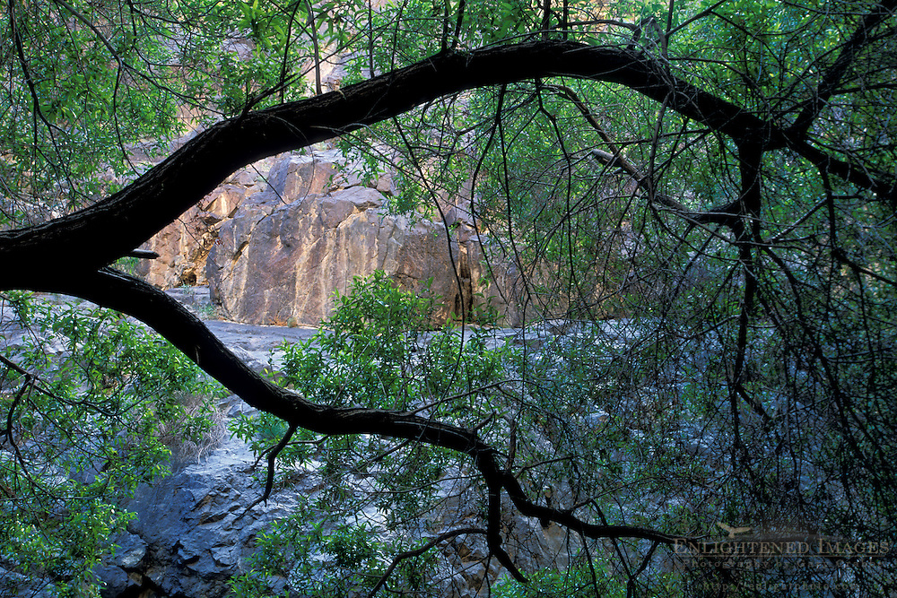 Tree branch and green leaves in riparian habitat in rocks of Darwin Canyon, Death Valley National Park, California