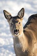 Smiling Roe Deer | Smilende Rådyr