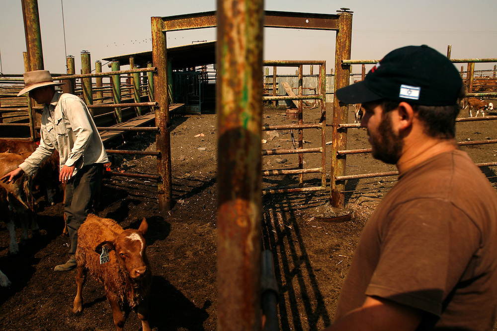 Yehuda Gilad 27(on the left) and Baruch working in the cattle-shed in Moshav Yehonatan in the Golan height Israel. Tuesday,October, 02, 2007....