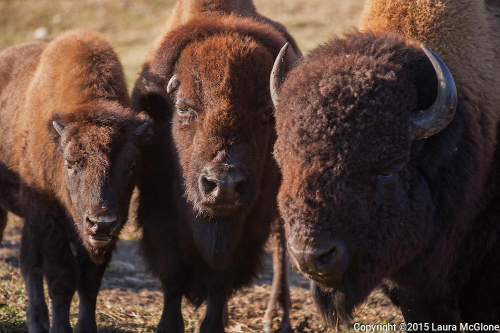 Bison, Elk Island Park, Alberta Canada Buffalo