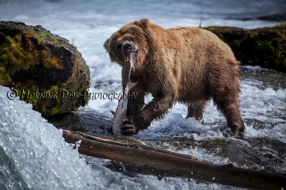A brown bear sow enjoys a meal of salmon at the base of Brooks Falls.
