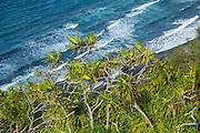Hala tree, Pololu Valley, North Kohala, Island of Hawaii