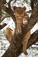 A young lion wedges itself into a fork in a tree in the Serengeti National Park. The park is a UNESCO World Heritage Site in Tanzania. http://www.gettyimages.com/detail/photo/lion-in-tree-tanzania-high-res-stock-photography/96621907