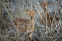 Sika deer, Cervus nippon ,Chincoteague National Wildlife Refuge, Virginia, USA