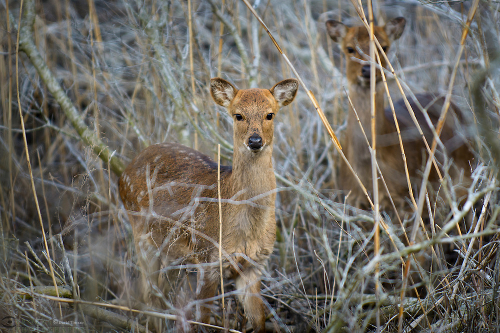 Sika deer, Cervus nippon ,Chincoteague National Wildlife Refuge, Virginia, USA