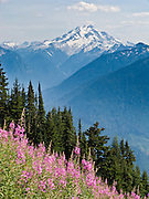 Hike in view of Glacier Peak and a field of fireweed (Epilobium angustifolium) on the Green Mountain trail in Mount Baker-Snoqualmie National Forest, accessible from the Mountain Loop Highway, Washington, USA. Glacier Peak, which rises to elevation 10,541 feet in Glacier Peak Wilderness, is the most isolated of the five major stratovolcanoes (composite volcanoes) of the Cascade Volcanic Arc in Washington. Glacier Peak formed during the Pleistocene epoch (about 1 million years ago) and is one of the most active of Washington's volcanoes, erupting explosively five times in the past 3,000 years.