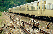 A hord of monkeys beleaguering the Royal Orient during a stop for cooling the breaks between Udaipur and Marwar.