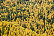 Western Larch trees in Autumn on Old Dominion Mountain, Mill Creek Valley, Colville National Forest, Selkirk Mountains, Washington.