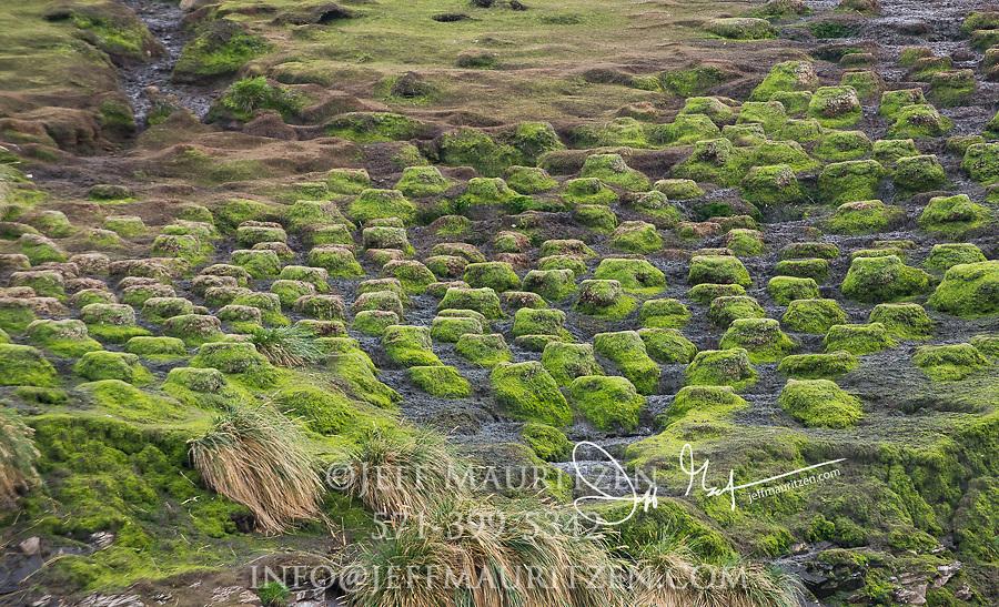 Moss covered Imperial cormorant nests on Isla de los Estados, Argentina.