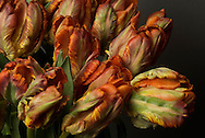 Studio still life of Parrot tulips