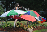 Kathy Scola Novia of Worcester waters her recently planted Hostas and Flowering Vincas; under the shade of umbrellas she used to protect them during a heat wave.
