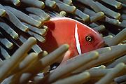 Pink anemonefish (Amphiprion perideraion) - The clownfish, or anemonefish, are the subfamily Amphiprioninae of the family Pomacentridae. Clownfish and damselfish are the only species of fish which can avoid the potent stings of an anemone. | Anemonenfisch (Amphiprion perideraion) - Die Anemonenfische (Amphiprion) sind eine Gattung der Riffbarsche (Pomacentridae), die in enger Symbiose mit Seeanemonen leben. Dabei leben die einzelnen Arten nur mit bestimmten Arten von Symbioseanemonen zusammen. Die Symbioseanemonen bieten den Anemonenfischen, die alle schlechte Schwimmer sind, Schutz vor Raubfischen. Auch die Anemonenfische schützen ihre Symbiosepartner vor Fressfeinden, z.B. Falterfische.  |