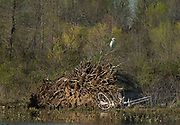 A Great egret perches on top of a tree in front of a wetland marsh.