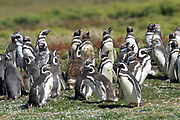 Magellanic penguins (Spheniscus magellanicus) on Carcass Island on Sunday 4th February 2018.