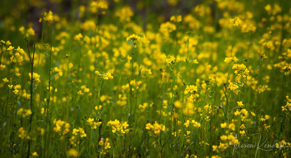 Yellow mustard flowers bloom in a summer field, lush green and bright soft focus. fine art photography, art photography, fine art, prints, photo print, fine art prints, photography art prints,