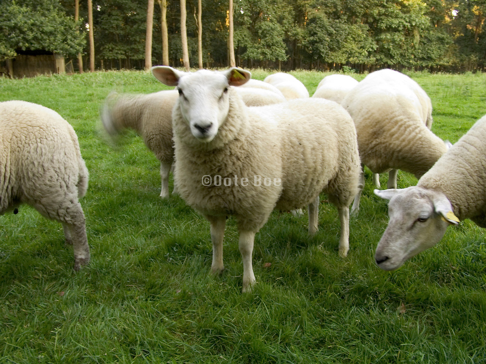 group of sheep outdoors grazing