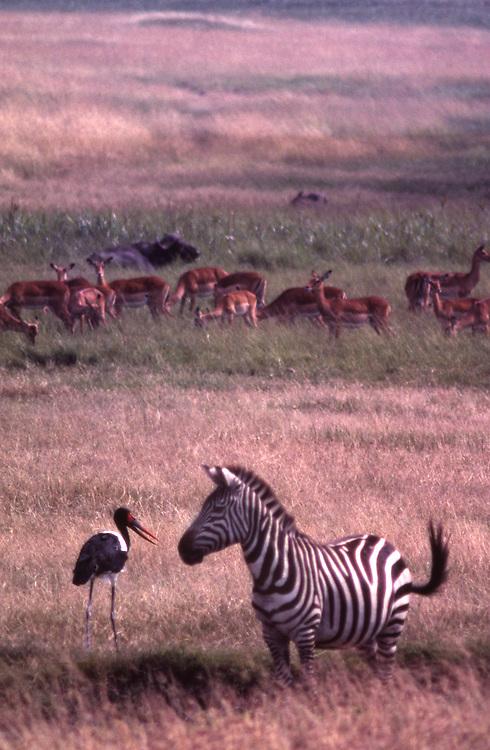 African wildlife, Zebra, saddle-billed stork and gazelles in grass and swamp of Maasai Mara, Kenya, appear to be talking
