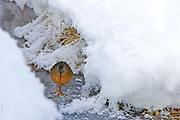 WINTER DREAMS | Daydreaming Virginia Rail navigates solidly frozen creek in northern Montana. Late January . -30F.