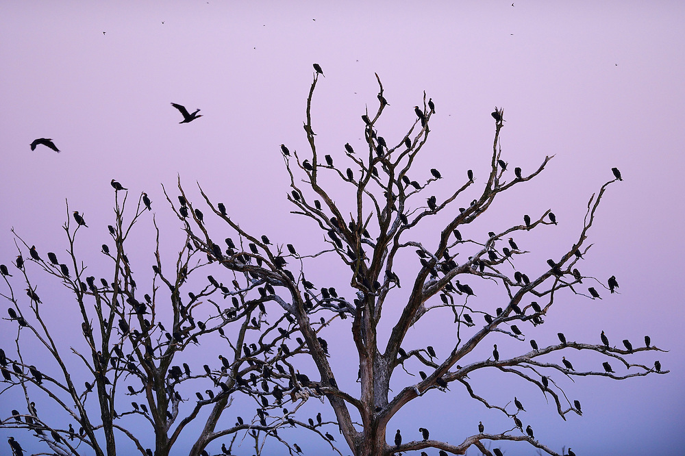 Roosting trees and breeding location for thousands of Great cormorant, Phalacrocorax carbo, Anklamer Stadtbruch, Germany Oder river delta/Odra river rewilding area, Stettiner Haff, on the border between Germany and Poland