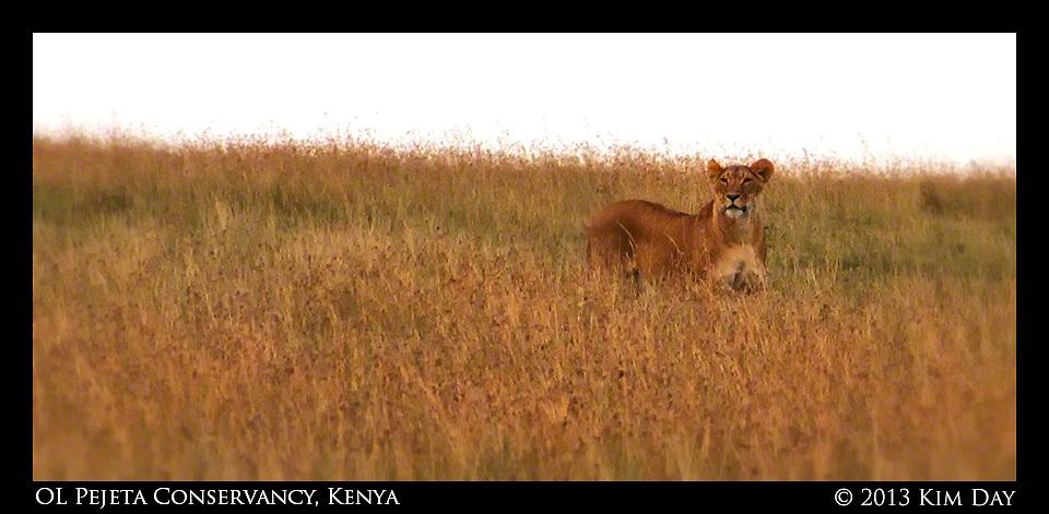 Lion stalking warthog in the OL Pejeta Conservancy.September 2012 - Kenya