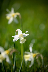 Narcissus 'Elka' growing in grass
