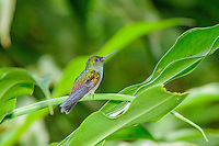 Blue-chested / Charming Hummingbird [Amazilia amabilis] conspecific with Beryl Hummingbird (A. decora)] ; Discovery Center, Soberania National Park, Panama