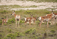 A group of Antelope gathers together with their young in the sagebrush in western Wyoming.