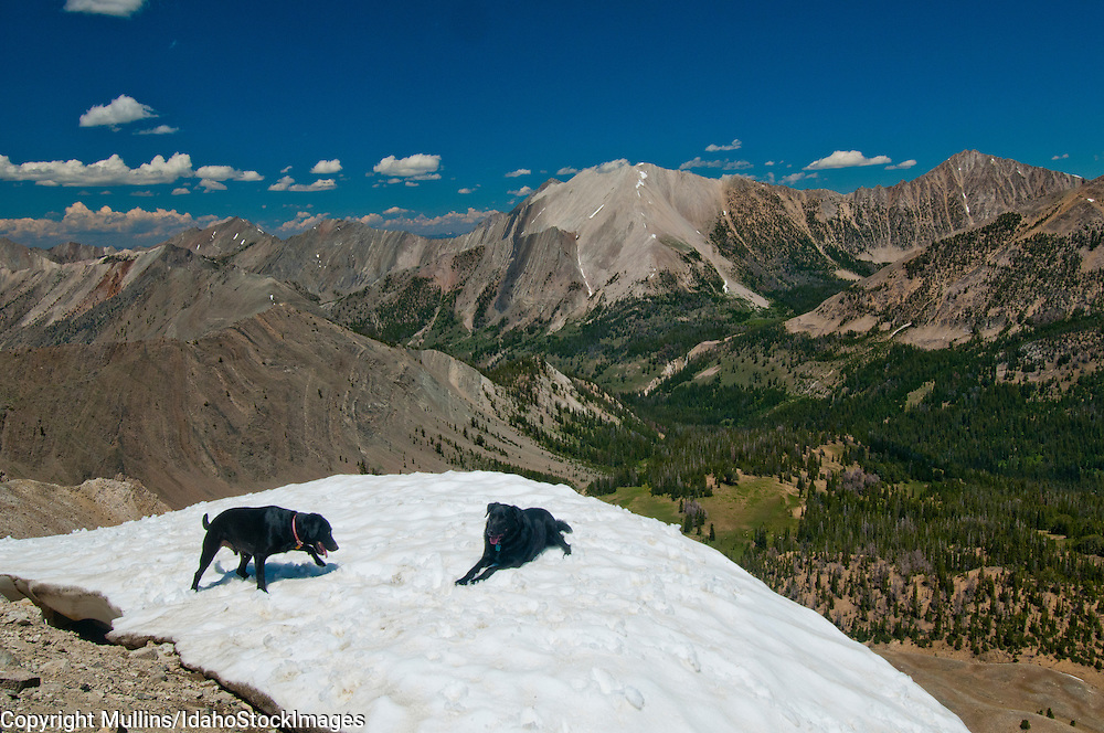 Black Labrador retrievers playing in snowdrift in the White Cloud Mountains above Antz (Ants) Basin in central Idaho (proposed Wilderness Area and currently under consideration for National Monument status - late 2013).