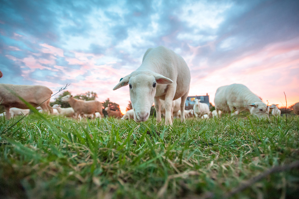 Sheep at sunset grazing<br /> Fallston, MD