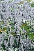 Fresh powder on pines and sub-alpine meadow at Paradise, Mount Rainier National Park, Washington