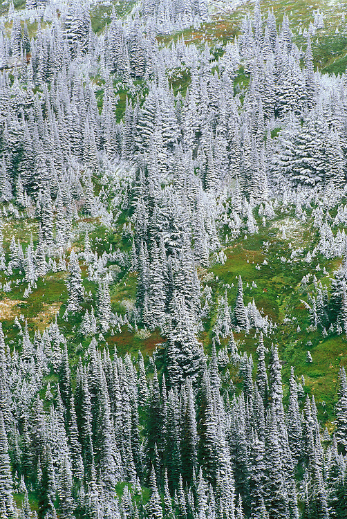 Fresh powder on pines and sub-alpine meadow at Paradise, Mount Rainier National Park, Washington