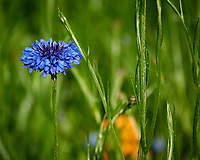 Bachelor Button (Blue Cornflower) . Image taken with a Nikon N1V3 camera and 70-300 mm VR lens (ISO 400, 129 mm, f/5, 1/800 sec).