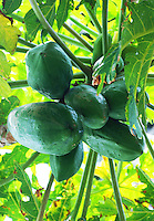Close-up of papayas still on the tree in Bali, Indonesia.
