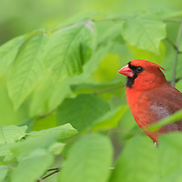 Male cardinal (Cardinalis cardinalis) perched in tree, partially concealed by spring greenery.