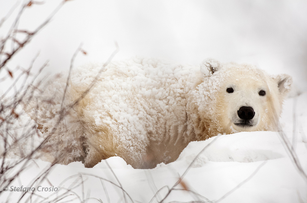 CANADA, Churchill (Hudson Bay).Young polar bear (Ursus maritimus)