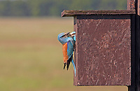 European Roller (Coracias garrulus) Pusztaszer Nature Reserve, Hungary