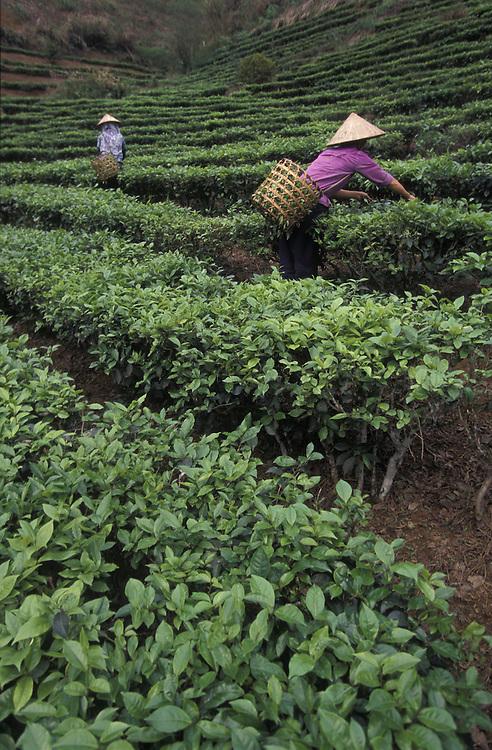 VIETNAM.Tea plantation on Red River