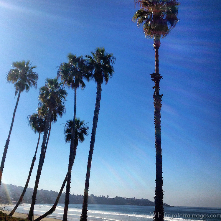 USA, California, La Jolla. Palm Trees at Scripp's in La Jolla.