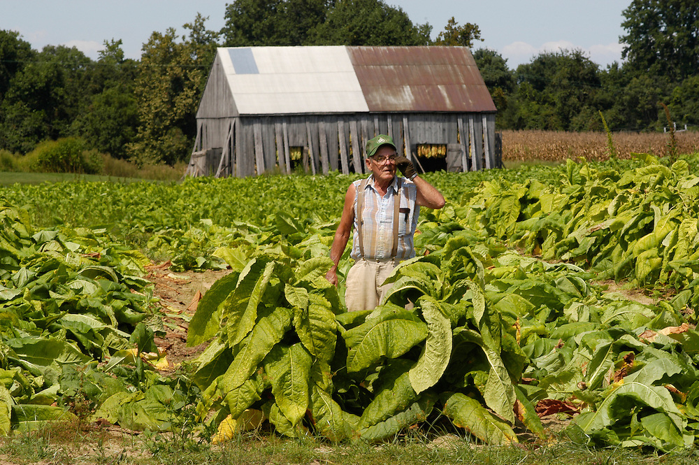 Harvesting Tobacco on farm in southern Maryland USA