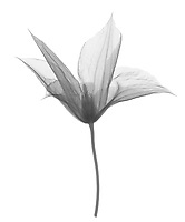 X-ray image of a 'Jackmanii' clematis flower, lateral view (Clematis 'Jackmanii', black on white) by Jim Wehtje, specialist in x-ray art and design images.