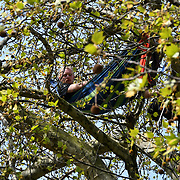 An activist climb up a tree outside the Royal Court of Justice on Day 4 - XRExtinction Occupy Parliament in demand the UK Govt to act of Climate Change by 2025 on 18 April 2019, London, UK.