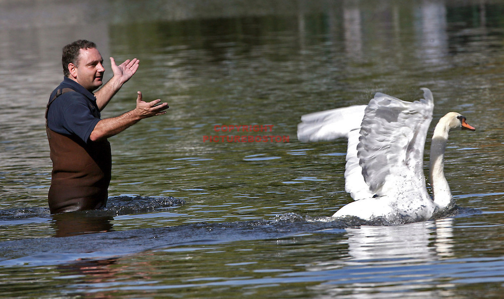 "(10/15/08-Boston,MA) Boston Animal Control Officer Anthony Fabiano tries to catch ""Romeo"", the second of two Swans that were to be captured from the Public Garden and transported to Franklin Park Zoo for the winter. ""Juliet"" was captured much faster but the stubborn Romeo proved to be more elusive."