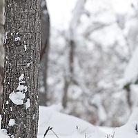 mature trophy muledeer buck hides behind cottonwood tree antlers out each side of tree