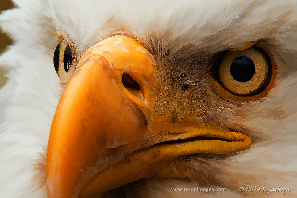Artistic photograph by Mike R. Jackson of an American bald eagle. The image is a close-up featuring the eyes and beak.
