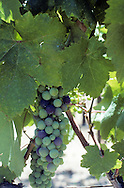 Napa Valley Green Grapes