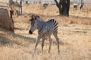 Animals, Baby Zebra. <br />