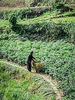 Woman tending to her potato plants in Swanta village.